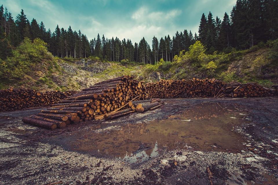 Debla na obrobju gozda