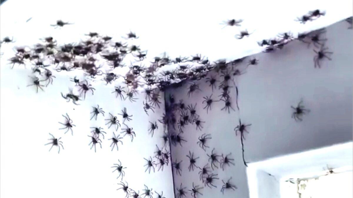pajki pajek