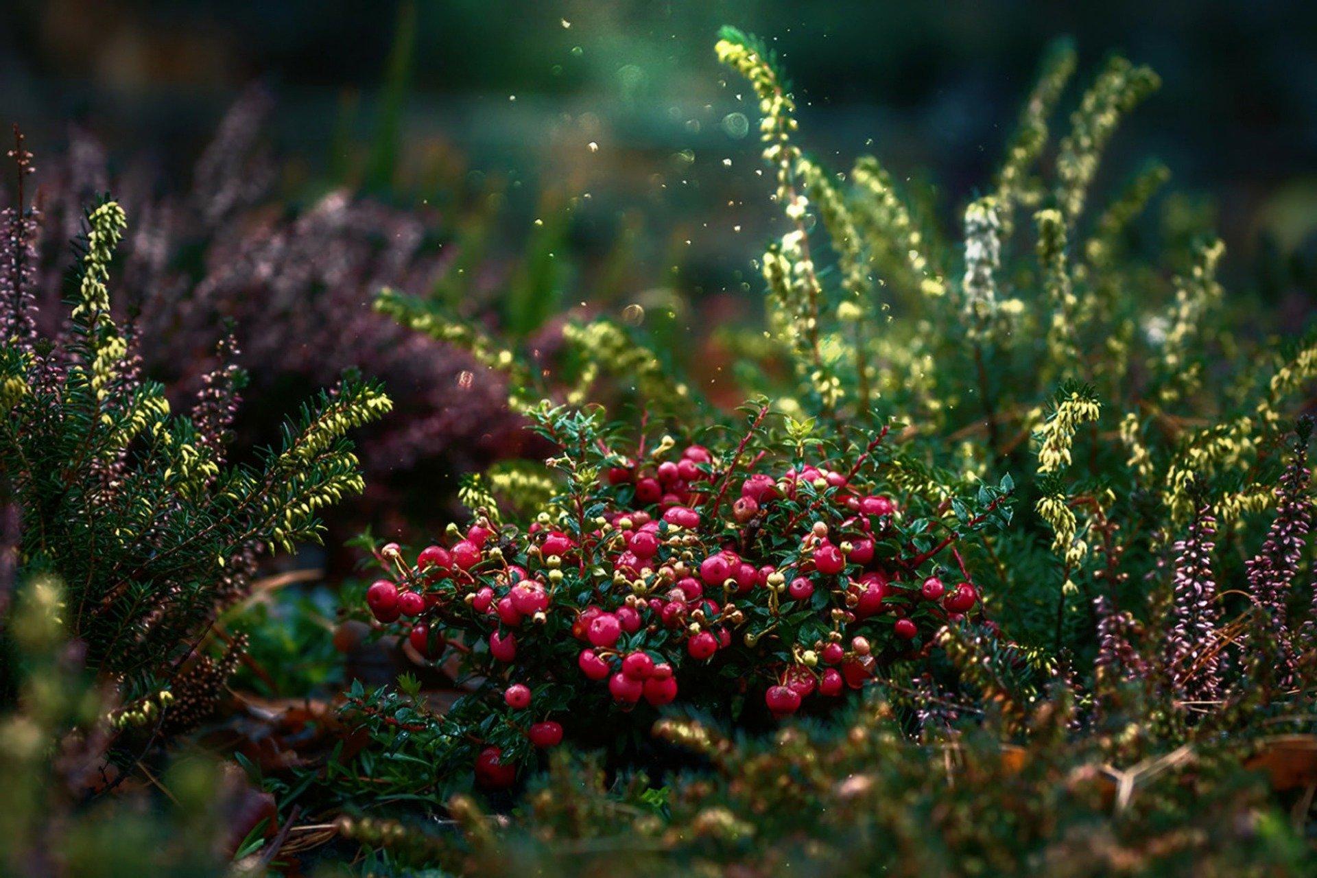 grmičevje brusnic