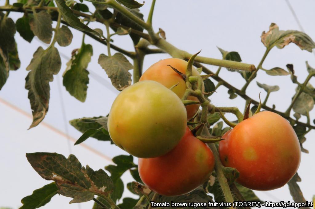 Kloroticne pege na plodovih paradižnika kot posledica okužbe s ToBRFV