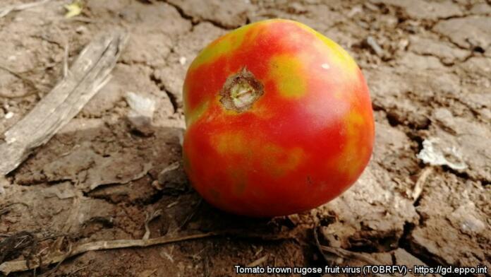 Razbarvanja na plodovih paradižnika kot posledica okužbe s ToBRFV