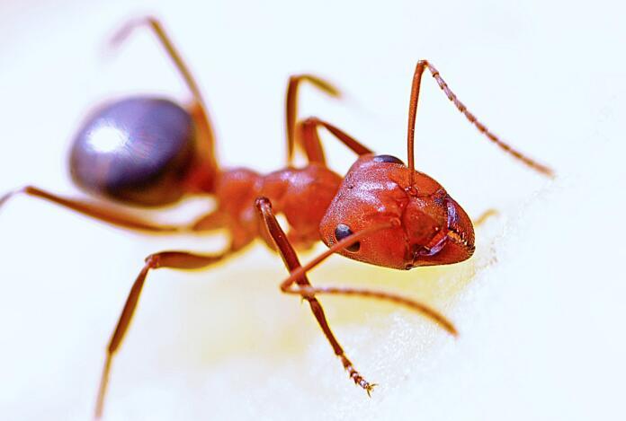 mravlja